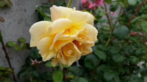 Egans-Bar-Rose1