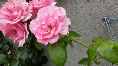 Egans-Bar-Rose2